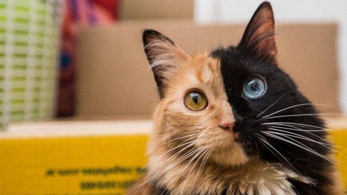 Jenis Jenis Kucing Mahal di Dunia