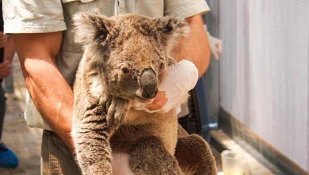 3 Alasan Koala Terancam Punah Dalam 30 Tahun kedepan